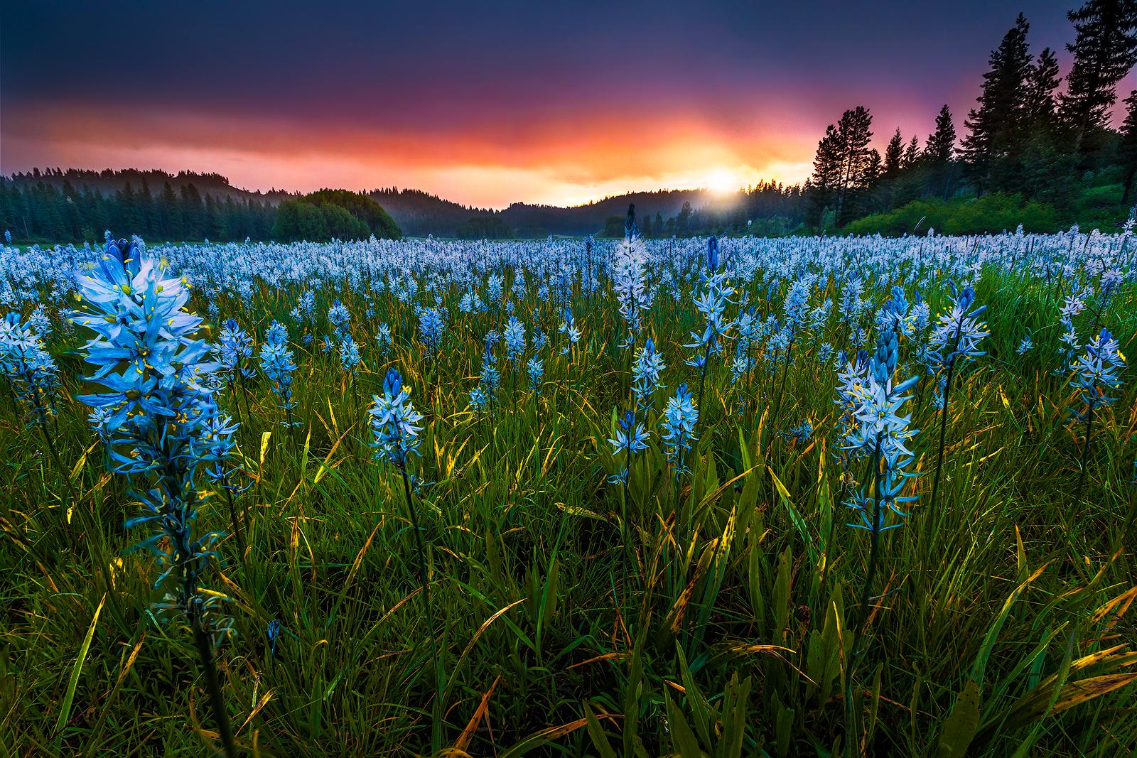 Red-Dawn-Blue-Lilies.jpg